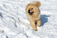 Chow-chow dog running. On snow Royalty Free Stock Image