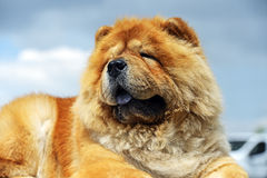 Chow chow. At a dog show in the spring Stock Photo