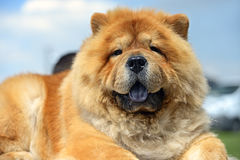 Chow chow. At a dog show in the spring Stock Image