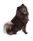Chow-Chow Dog Sitting Stock Photography