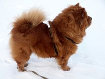 Chow chow dog on snow. Winter, snow and brown dog chow chow Royalty Free Stock Photo
