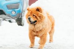 Chow Chow Dog Standing In Snow no dia de inverno Foto de Stock