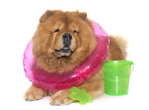 Chow chow dog in summer Stock Photography