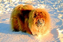 Chow Chow Dog, sun and white snow. Royalty Free Stock Images