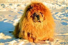 Chow Chow Dog, sun and white snow. Royalty Free Stock Image