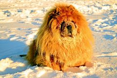 Chow Chow Dog, sun and white snow. Royalty Free Stock Photo