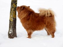 Chow chow dog and tree. Winter, snow and brown dog chow chow Royalty Free Stock Photo