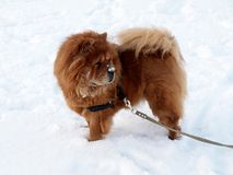Chow chow dog - winter time. Winter, snow and brown dog chow chow Royalty Free Stock Image