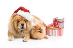Chow-Chow em um chapéu e em um spitz vermelhos de Papai Noel, Foto de Stock Royalty Free