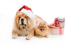 Chow-Chow em um chapéu e em um spitz vermelhos de Papai Noel, Imagem de Stock Royalty Free