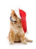 Chow-Chow em um chapéu vermelho de Papai Noel Imagem de Stock Royalty Free