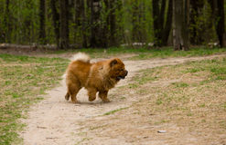 Chow-chow en caminata foto de archivo