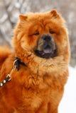 Chow-chow en el invierno Fotos de archivo