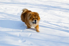 Chow-chow en hiver images stock