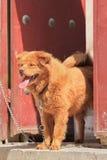 Chow Chow enchaîné devant la maison de cour de hutong, Pékin, Chine Photographie stock libre de droits