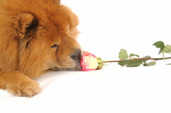 Chow-chow enjoying aroma of the rose Stock Photography
