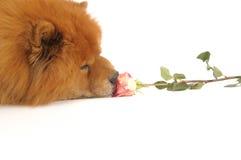 Chow-chow et rose, Photos libres de droits