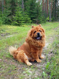 Chow chow in the forest Stock Photography