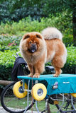 Chow Chow-hond Royalty-vrije Stock Afbeelding