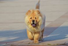 Chow Chow-hond Royalty-vrije Stock Foto