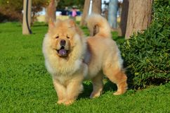 Chow Chow-hond Royalty-vrije Stock Foto's