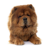 Chow Chow-hond stock foto