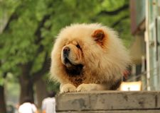 Chow-Chow Hund Stockfotografie