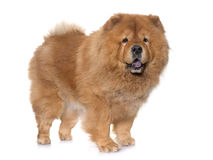 Chow Chow hund Arkivbild