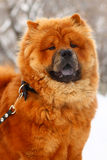 Chow-chow in inverno fotografie stock