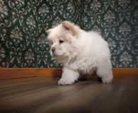Chow-chow joven Foto de archivo