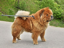 Chow-chow on a leash Stock Image