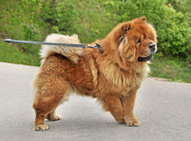 Chow-chow on a leash Royalty Free Stock Photo