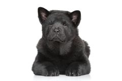 Chow chow long-haired puppy. Black Chow-chow long-haired puppy lying on white background Stock Image