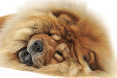 Chow chow lying on the beach na ziemi lubi lwa tounge out Fotografia Stock