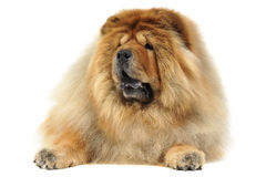 Chow chow lying in big white photo studio Royalty Free Stock Photography