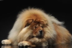 Chow Chow lying and looking down in a dark studio. Chow Chow lying and looking down in  dark studio Stock Photos