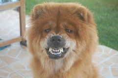 Chow Chow Royalty Free Stock Photography