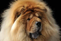 Chow-chow portait op een donkere achtergrond Stock Afbeelding