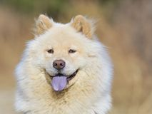 CHOW CHOW PORTRAIT Stock Images