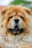 Chow Chow portrait Royalty Free Stock Photography