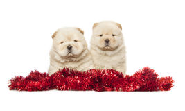 Chow-chow puppies Royalty Free Stock Photos