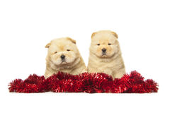 Chow-chow puppies Stock Images