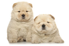 Chow-chow puppies Royalty Free Stock Image
