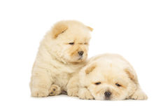 Chow-chow puppies Royalty Free Stock Photo