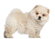 Chow chow puppy, 11 weeks old, standing. In front of white background Stock Image
