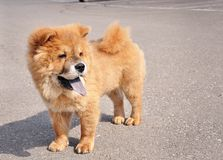 Chow Chow Puppy. Sweet little chow chow puppy dog Royalty Free Stock Photo