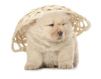 Chow-chow puppy Stock Image