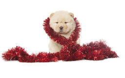 Chow-chow puppy Stock Photography