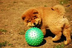 Chow-chow puppy. Playing with ball Stock Photos