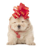 Chow-chow puppy with big red bow Royalty Free Stock Images
